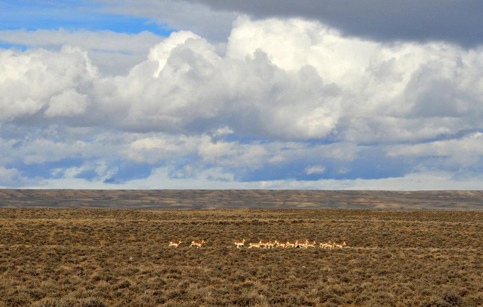 Pronghorns near Seedskadee NWR 01