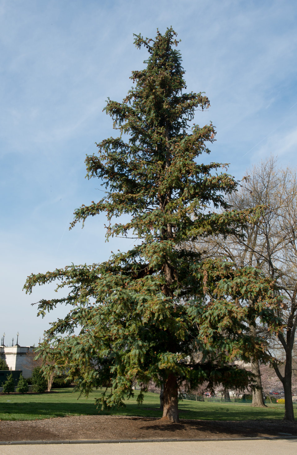 China Fir tree on Capitol Grounds