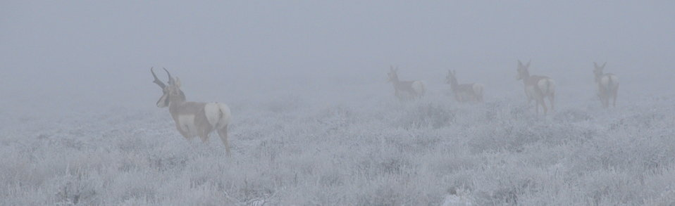 Pronghorns in the fog Seedskadee NWR