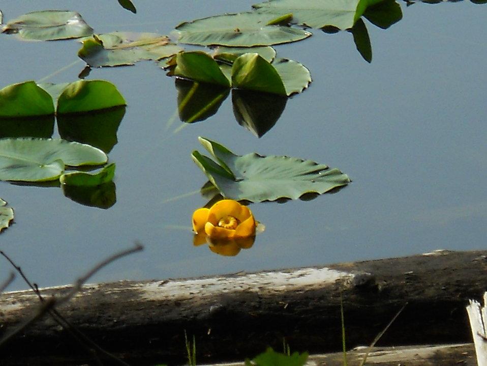 Pond Lily Flower