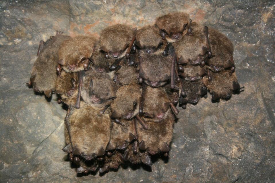 Hibernating Myotis spp.