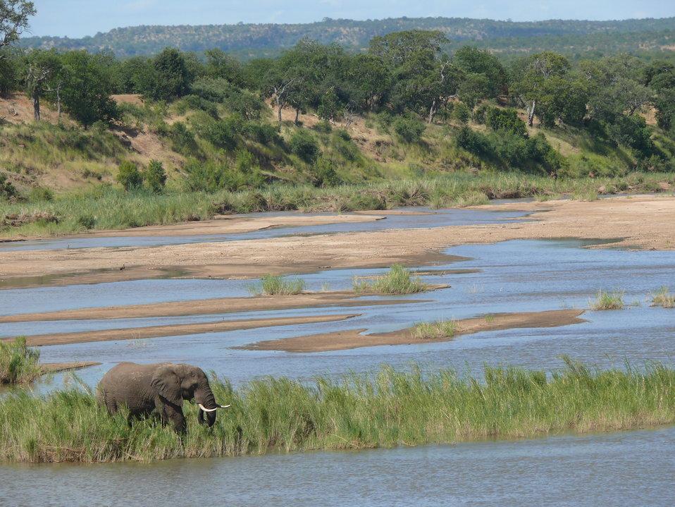 Elephant male tusker