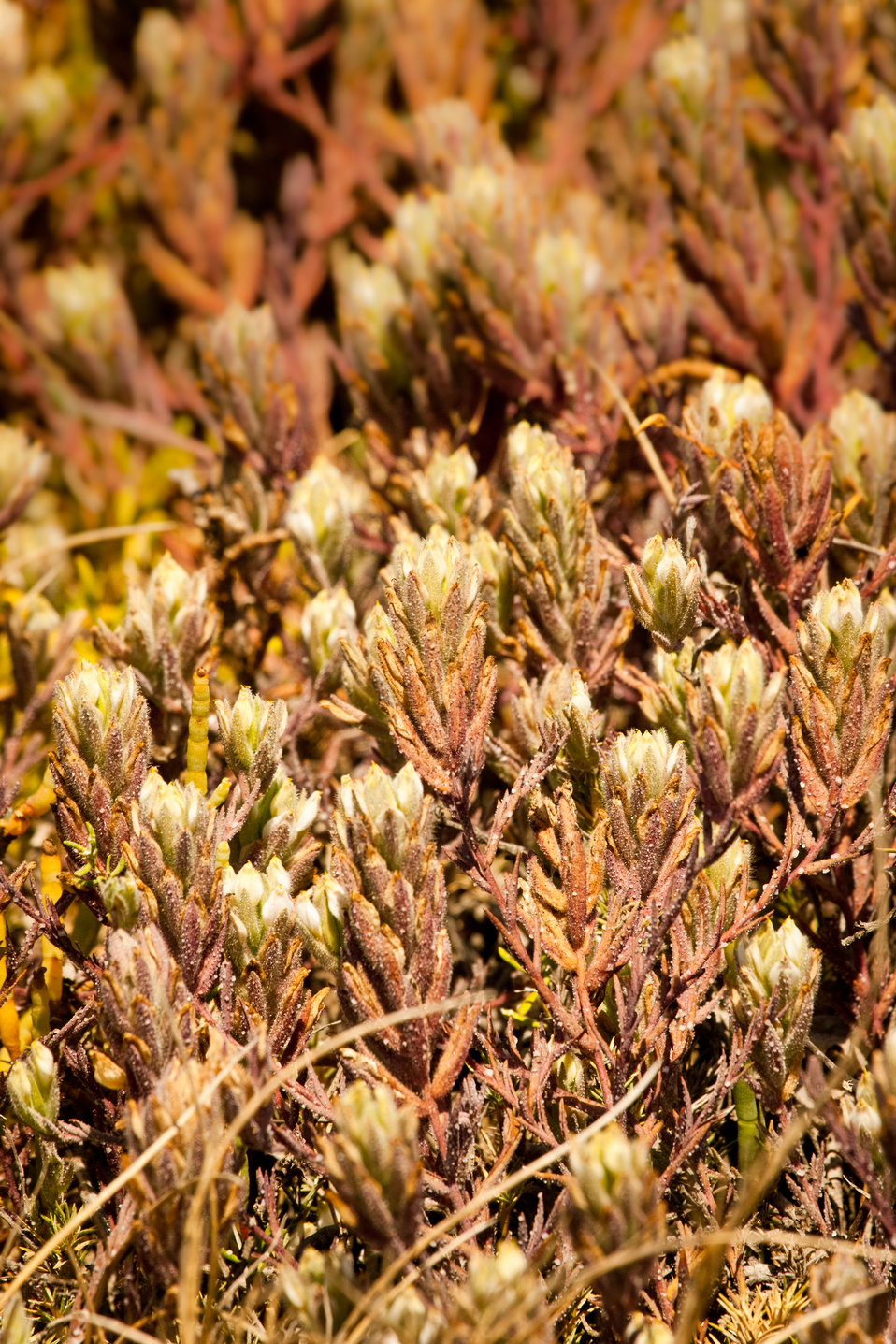 Salt marsh birds beak (Cordylanthus maritimus maritimus)