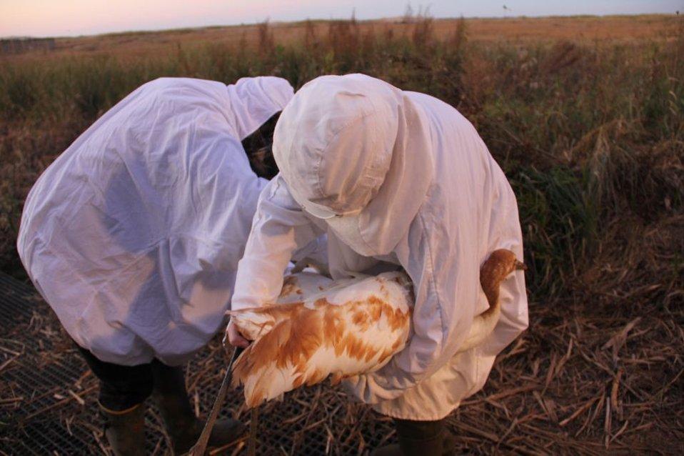 Veterinarian Examines Whooping Crane