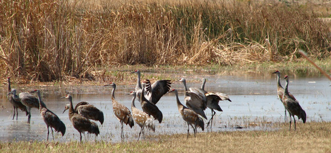 Sandhill Cranes at Merced Nat'l Wildlife Refuge