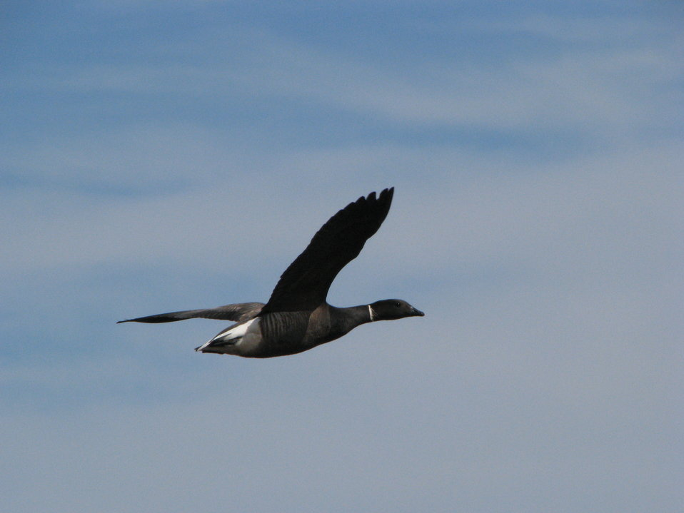 Black Brant in flight