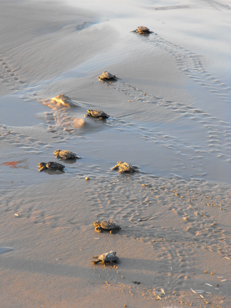 Photo of The Week: Baby Sea Turtles on a Beach