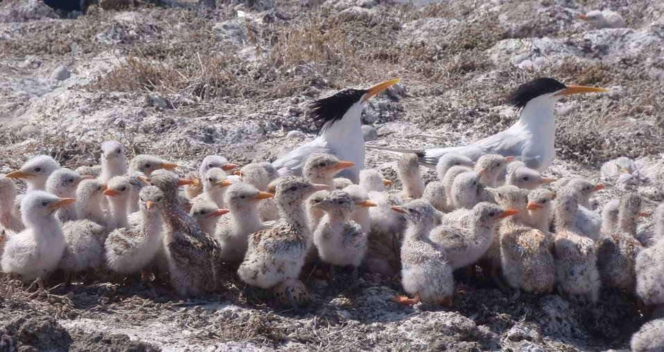 elegant tern chicks and parents