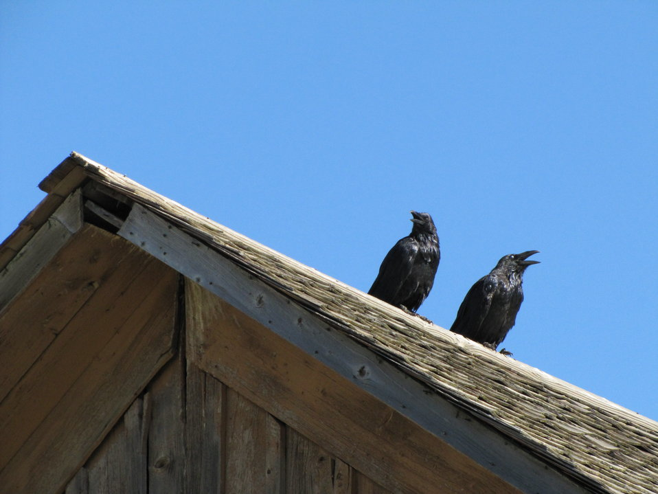 Ravens on a Rooftop