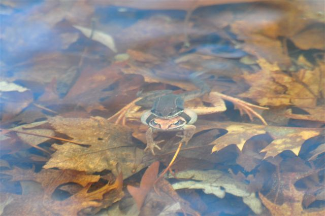 Frog in the Kettle Pond vernal pool