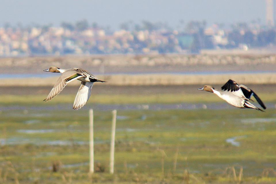 Northern pintails soar over Pond 10