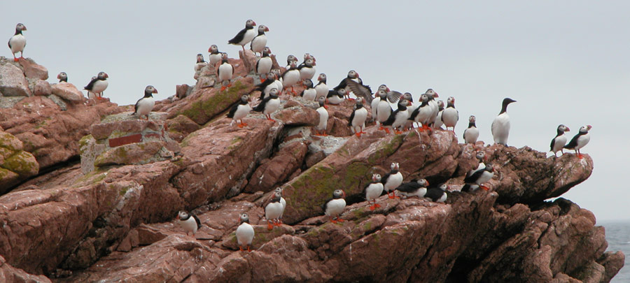 Razorbills and Atlantic puffin
