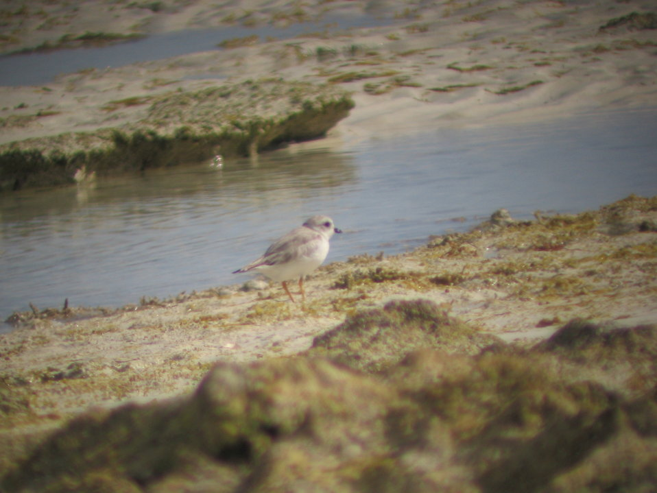 Piping plover foraging in rocky intertidal zone
