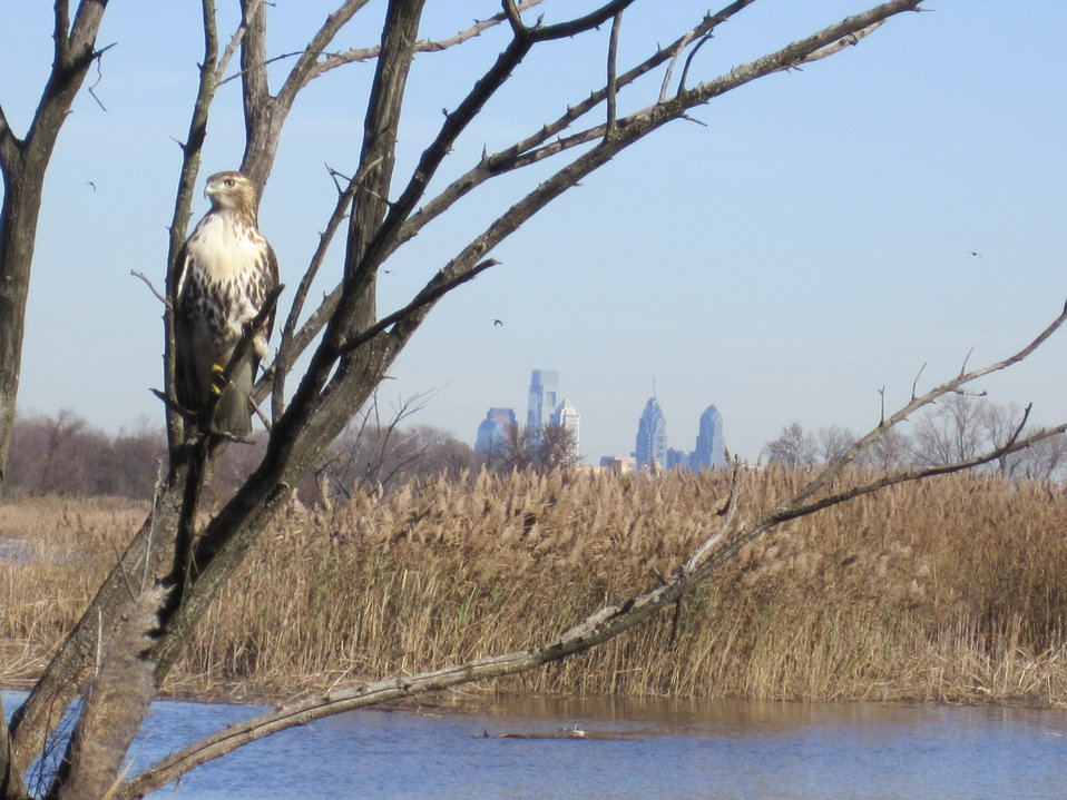 A hawk at John Heinz Refuge