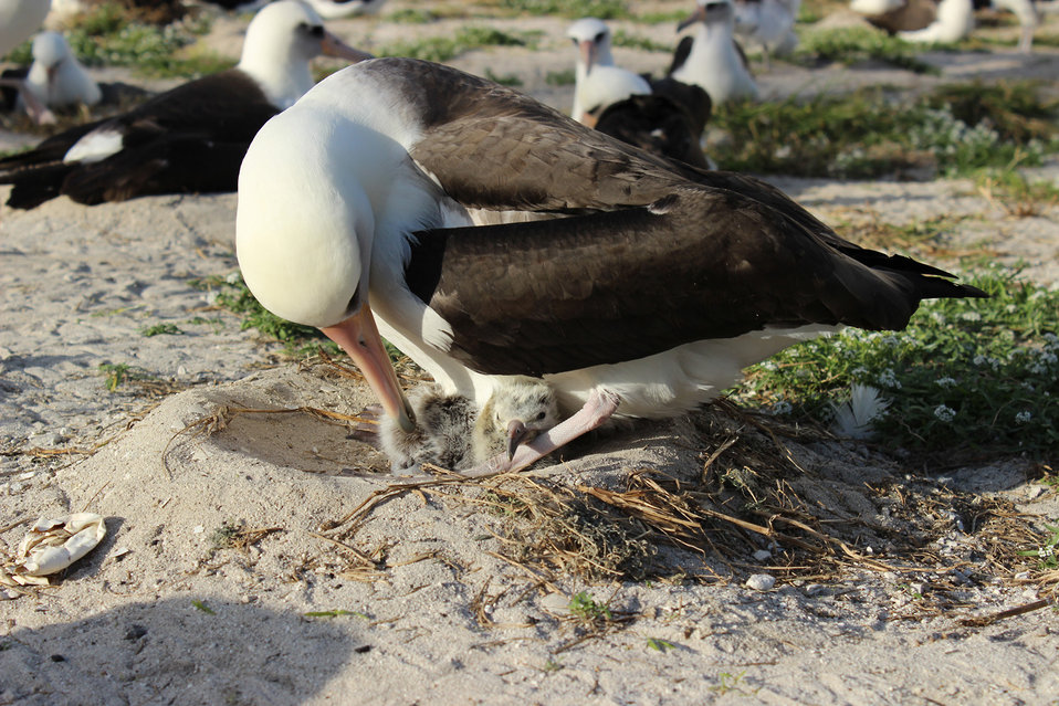 Newly hatched Laysan albatross chick on Midway Atoll NWR.02.02.2014