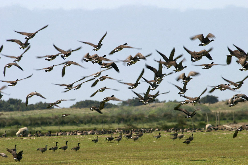 migrating geese near Oregon coast