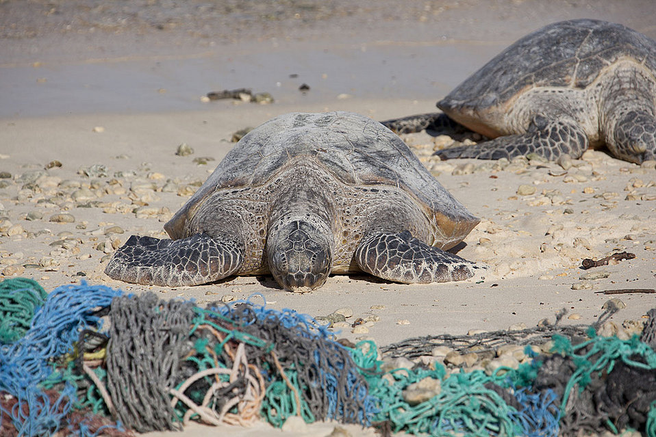 green turtles amid marine debris