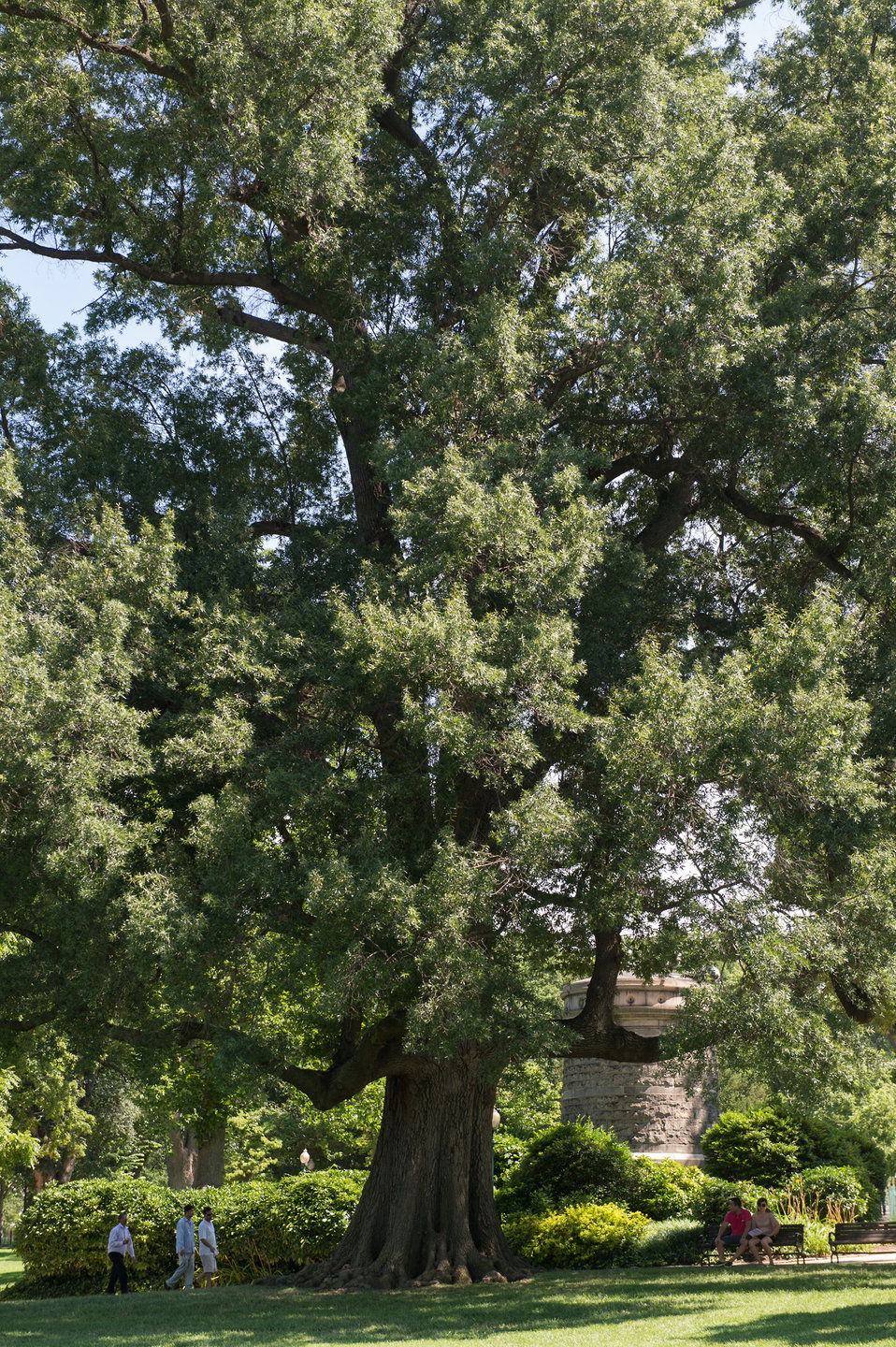 Willow Oak Tree on the U.S. Capitol Grounds