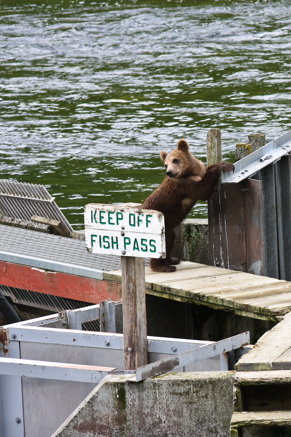 Bear cub breaks the rules.