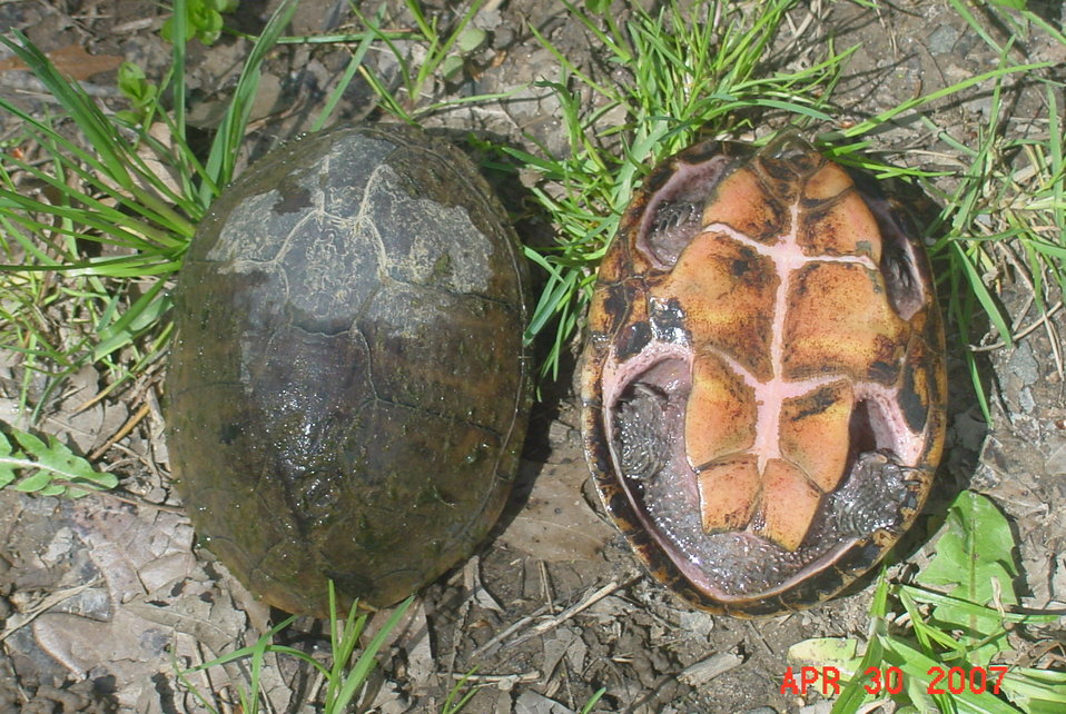Common Musk Turtles