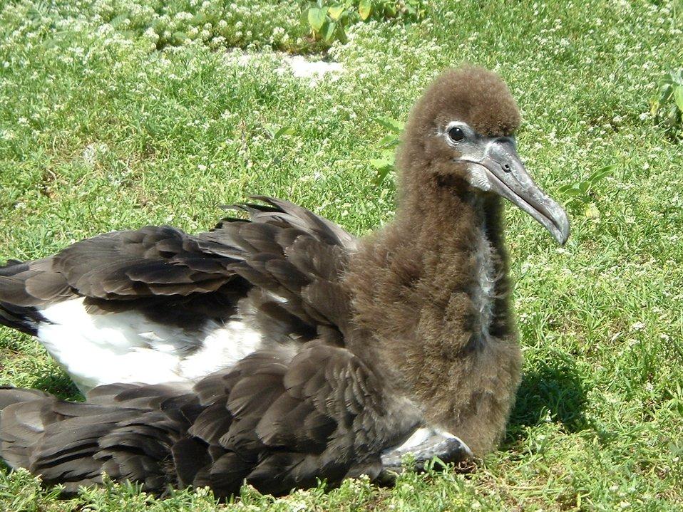 Albatross chick.