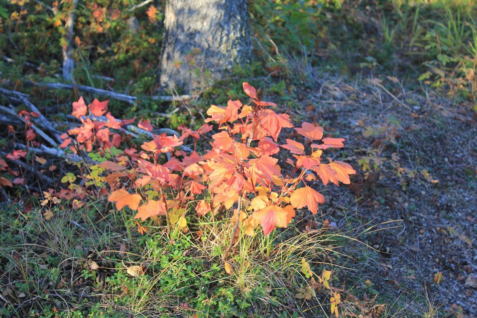 Cloudberry bush in the fall outside Inuvuk.