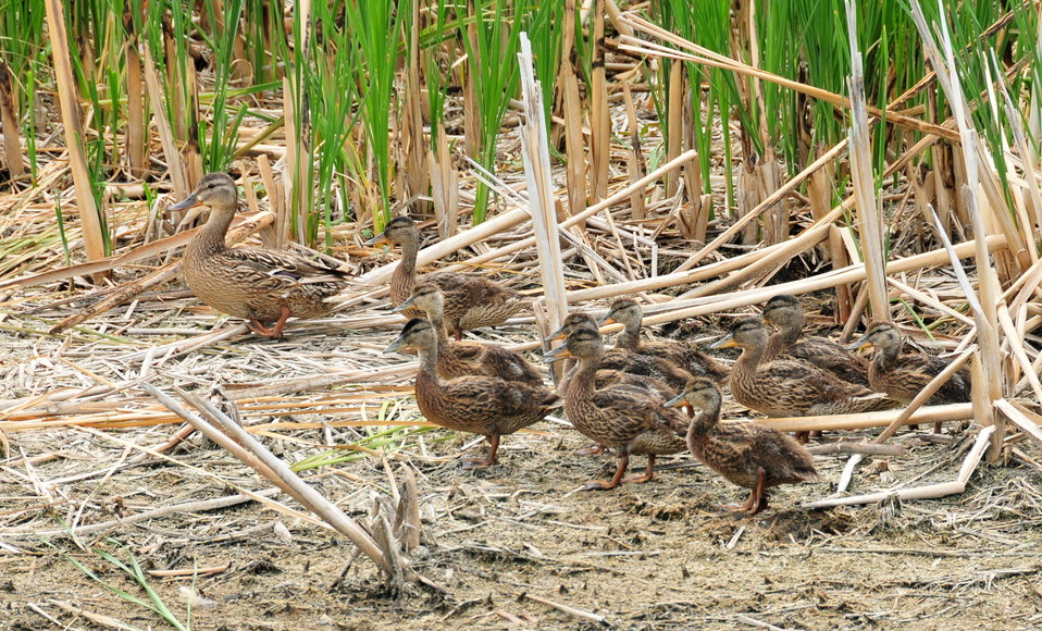 Mallard Hen and Brood on Sand Lake NWR