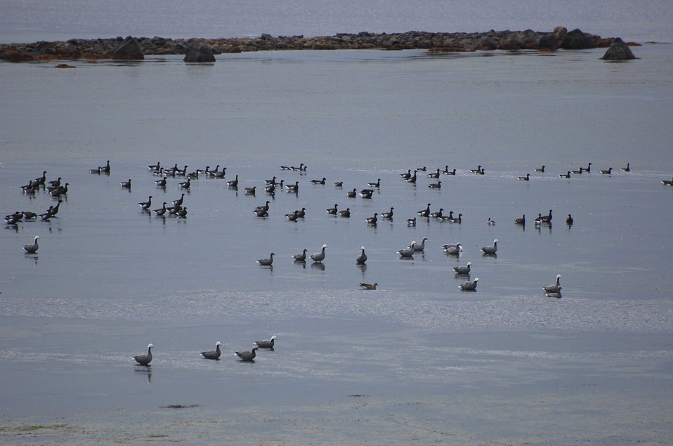 Emperor Geese and Brant