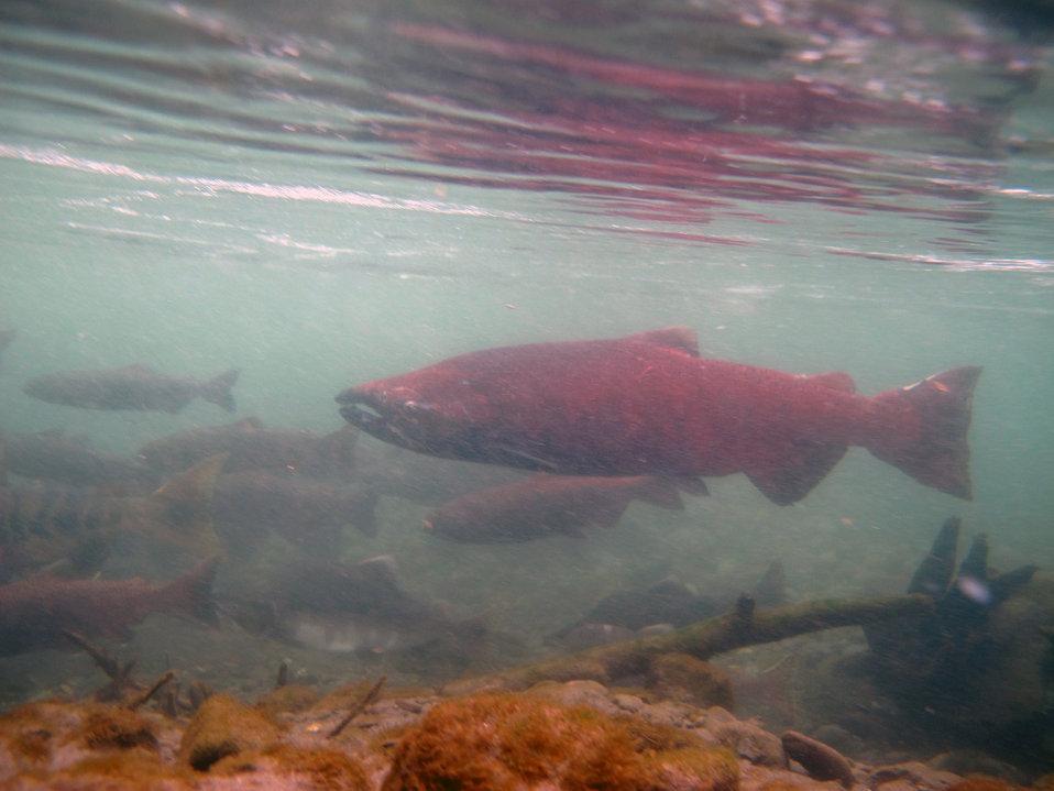 King salmon in Ship Creek
