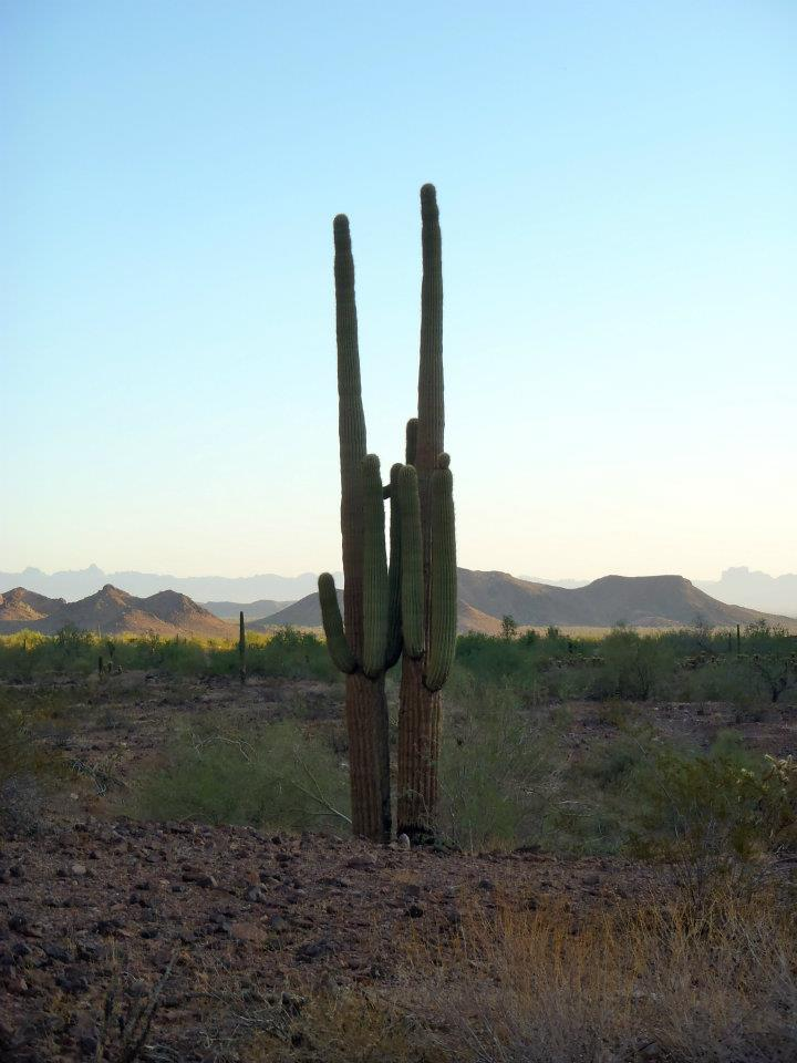 twin saguaro cacti, AZ National Wildlife Refuge Complex