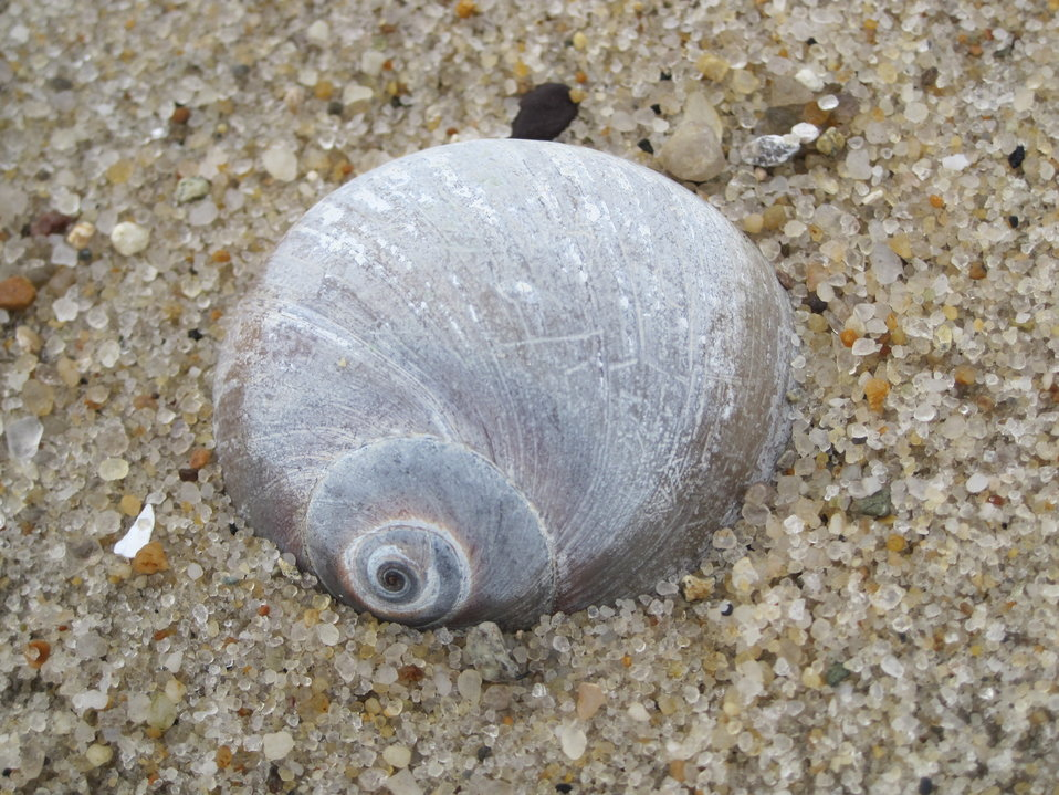 Shell on the beach at Monomoy