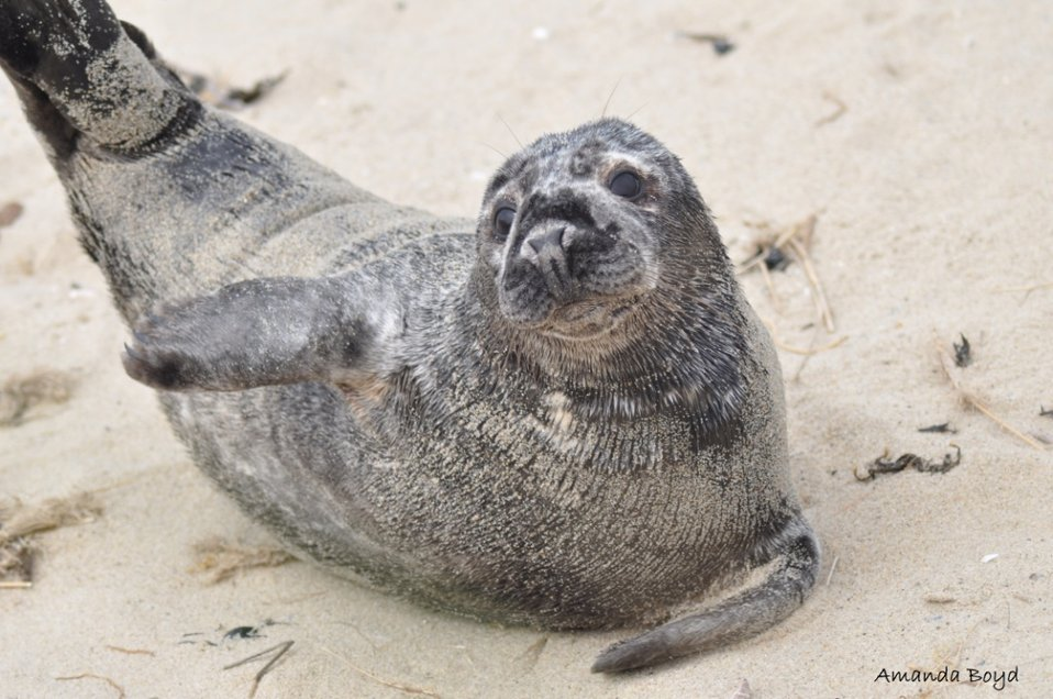 harbor seal stretching