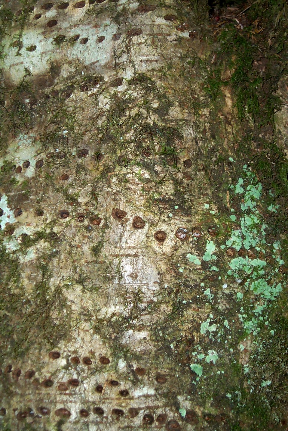 Lichen and other patterns on an alder tree on the Oregon coast.