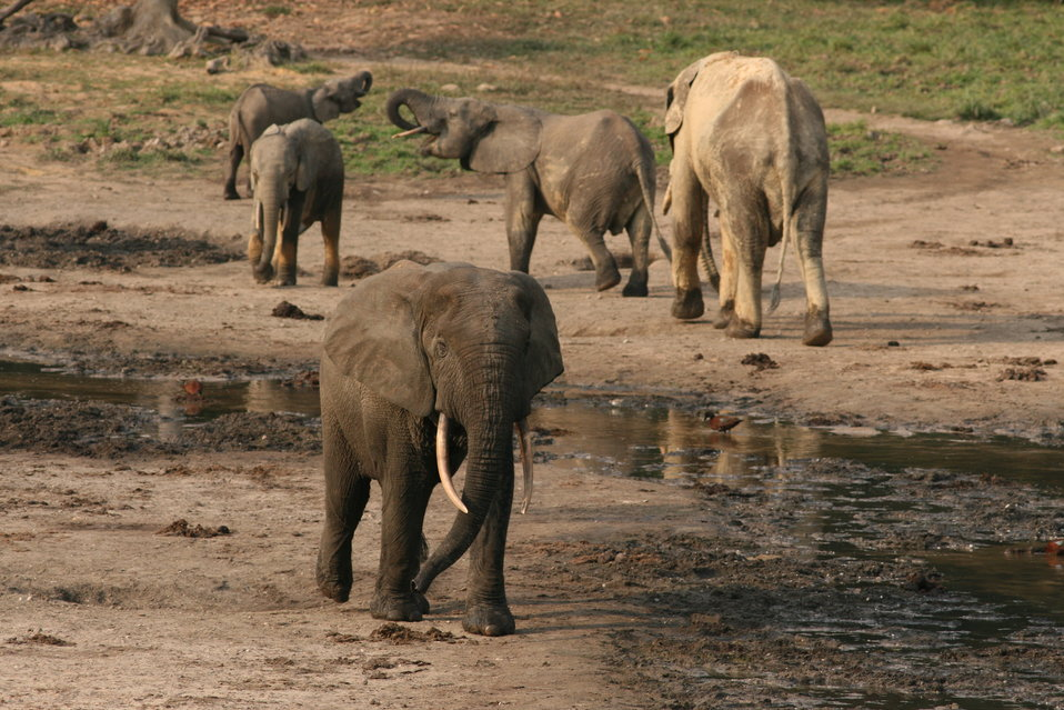 Forest elephant group 9