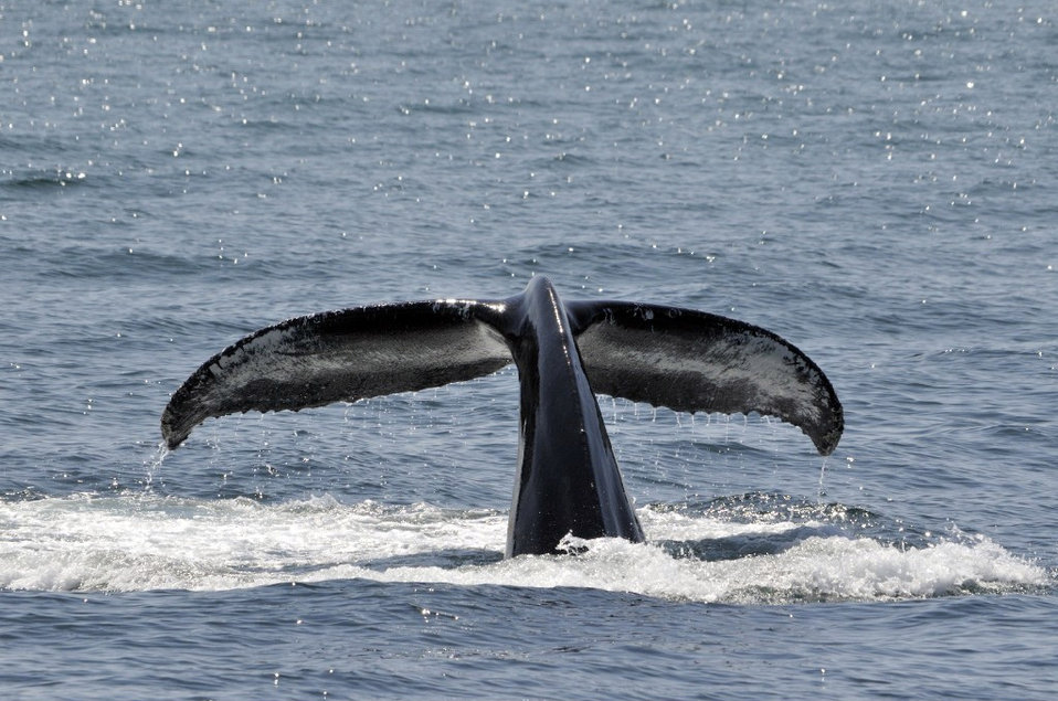 Photo of the Week - Humpback Whale (MA)