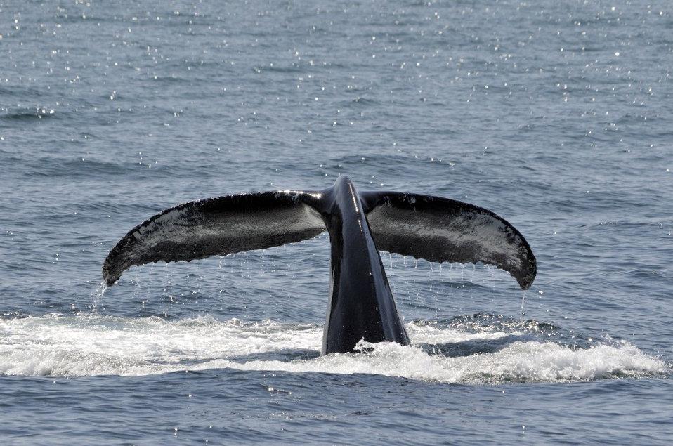 Photo of the Week - Humpback Whale (MA)