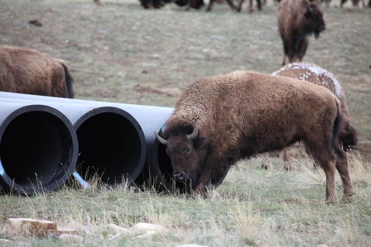 Bison on the National Elk Refuge