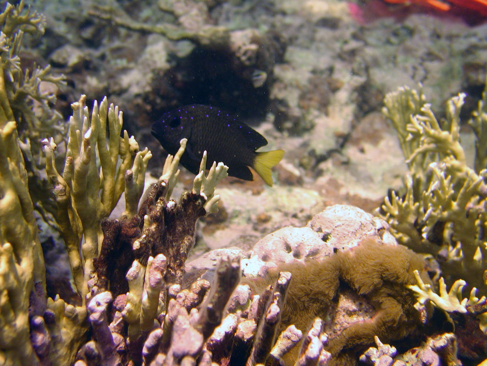 Yellowtail damselfish (Microspathodon chrysurus)