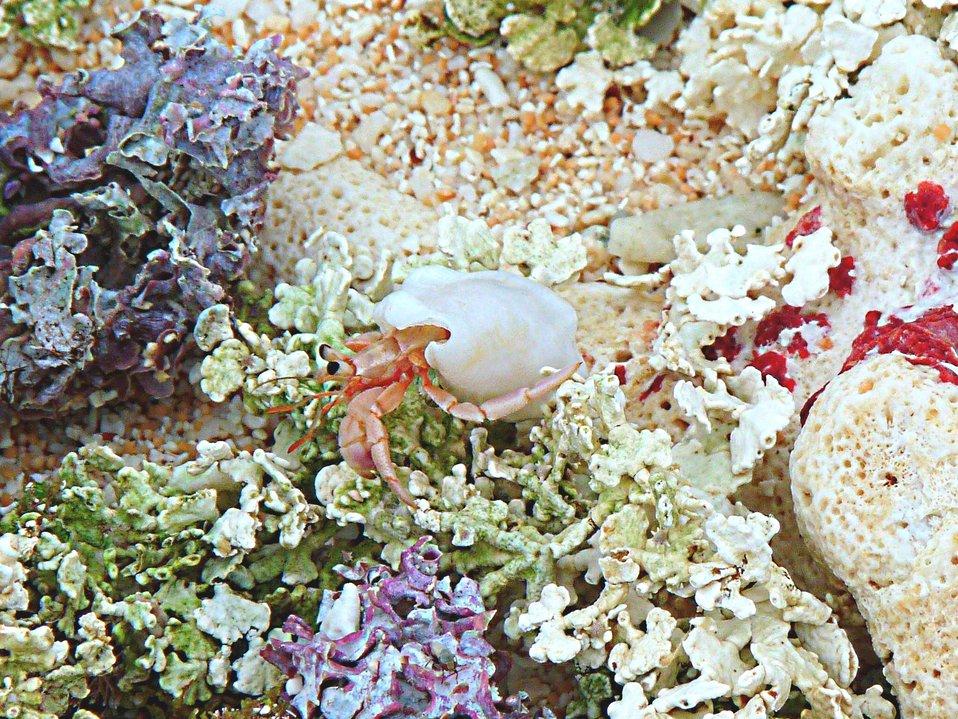 Hermit crab - Guam NWR