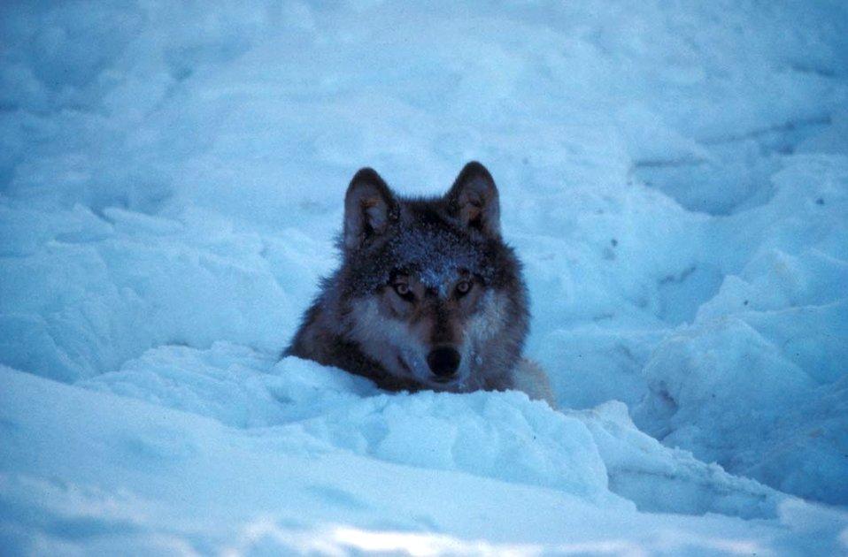 Wolf, Kenai NWR