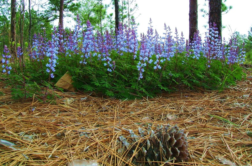 SC-sundial lupine at Carolina Sandhills National Wildlife Refuge