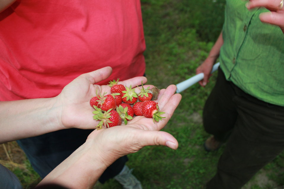 Pollinated Strawberries in Hadley, Massachusetts