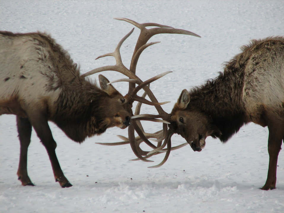 Two Bulls Clash Antlers