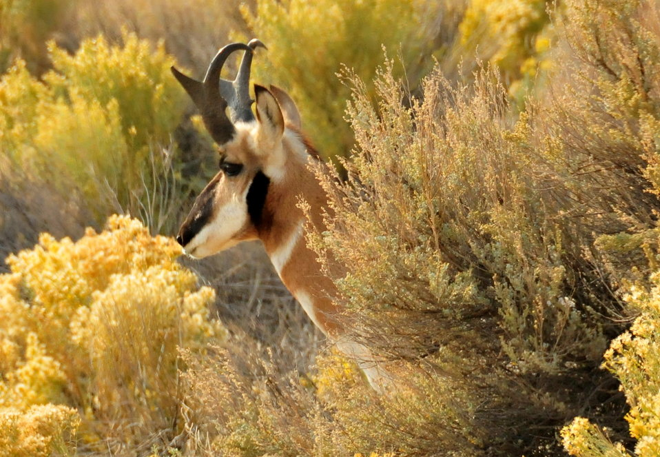 Pronghorn Buck Seedskadee NWR 6