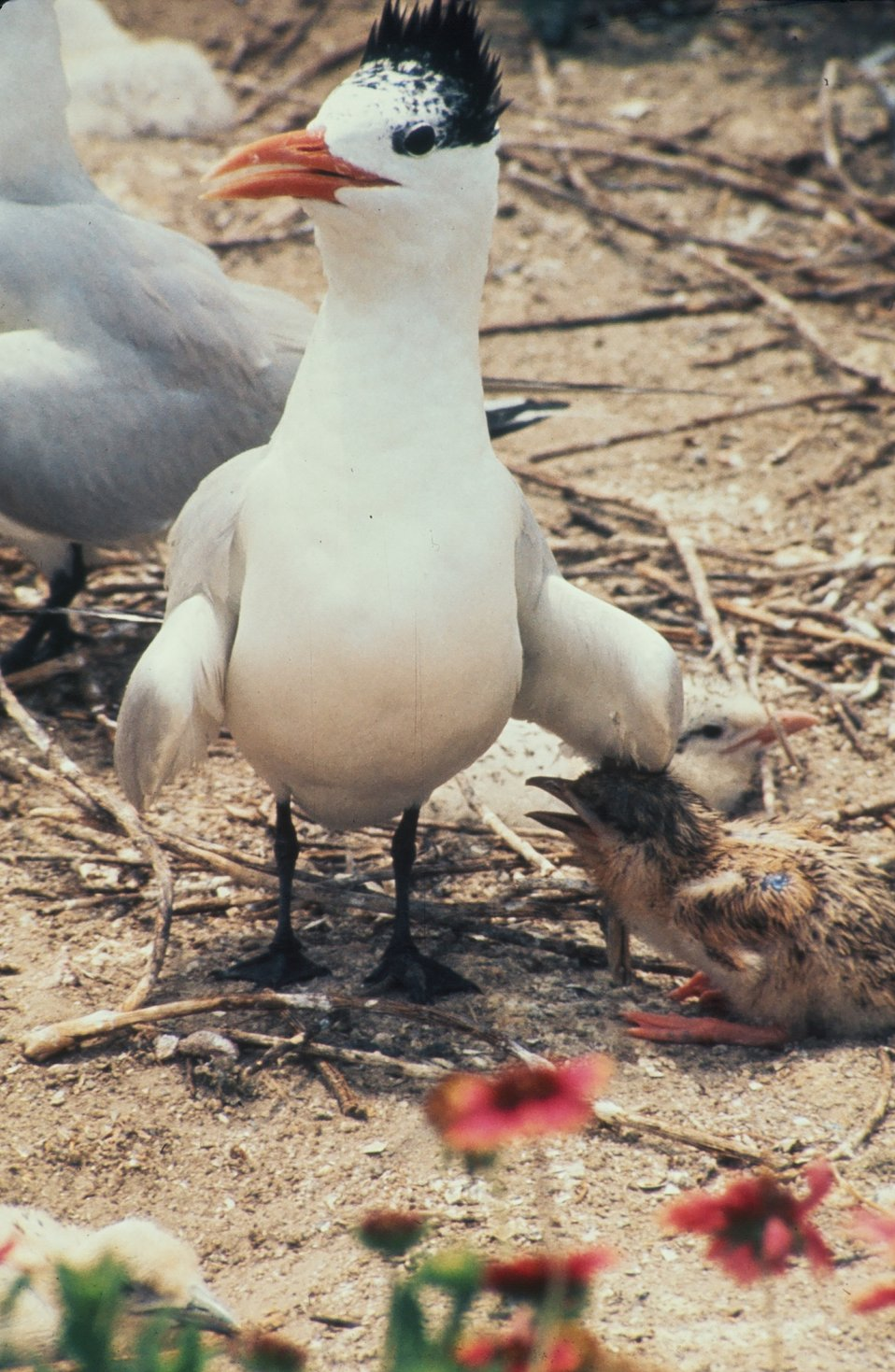 Royal Tern and young