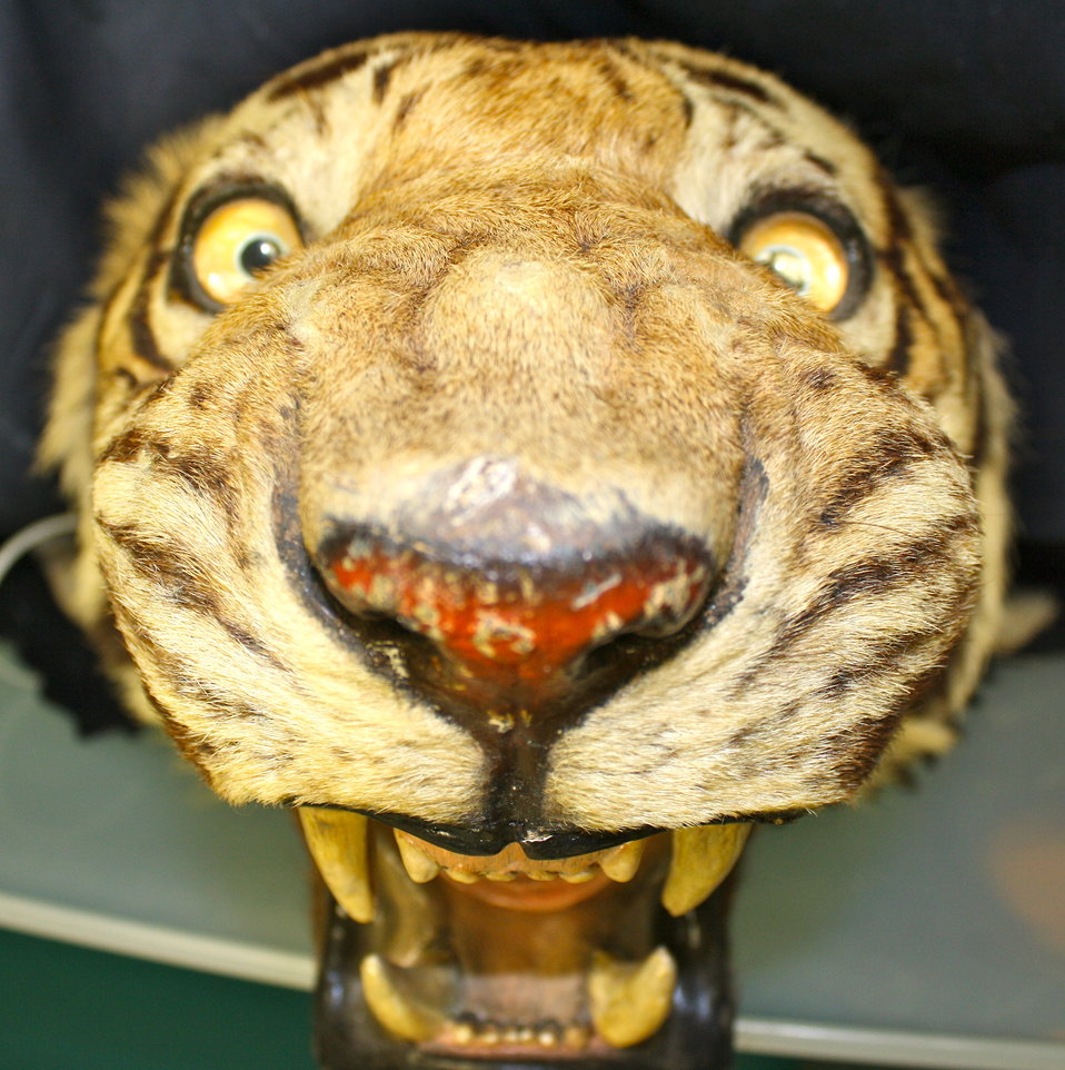 Stuffed tiger head