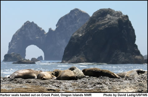 Harbor seals and Crook Point - Oregon Islands NWR