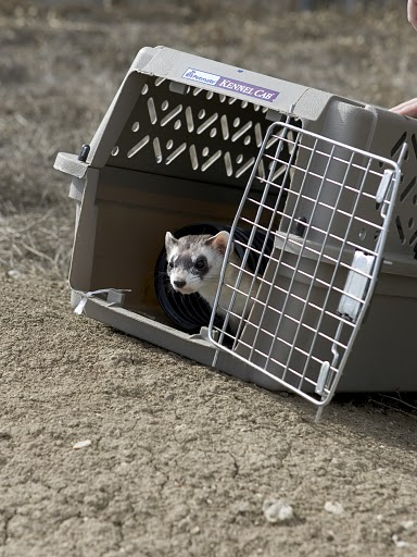 Releasing a Black-footed Ferret