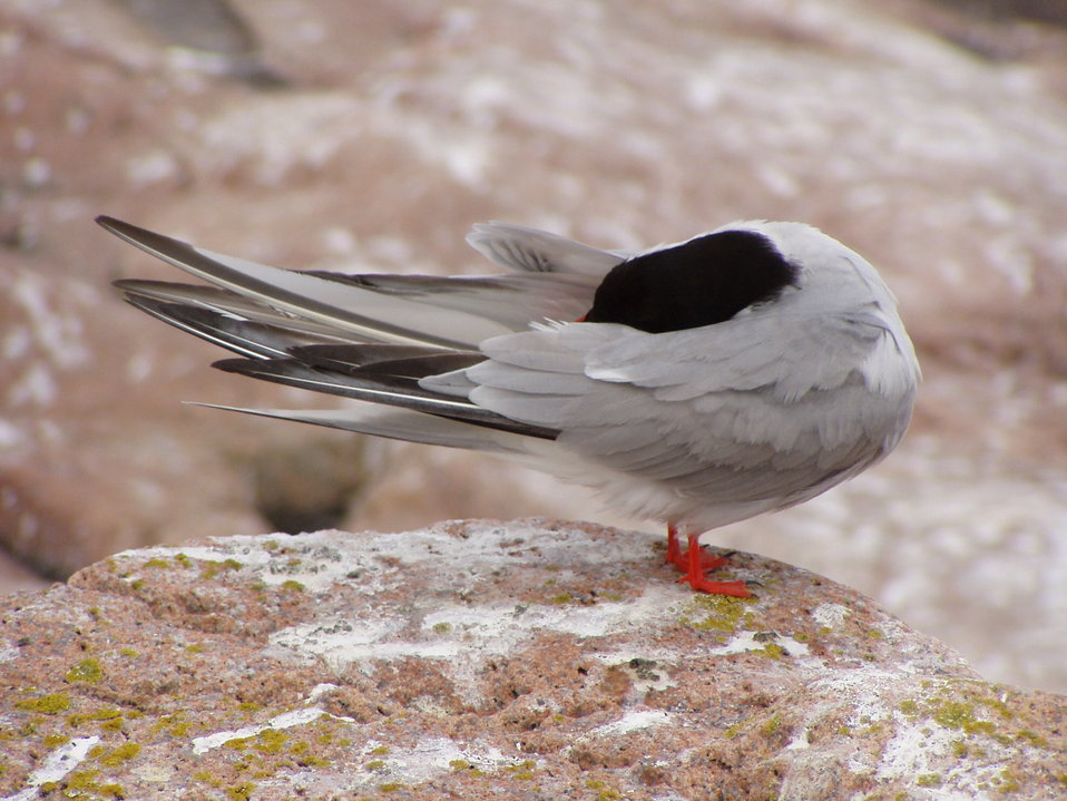 Common tern preening