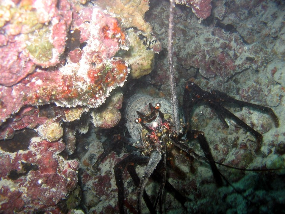 Spiny lobster (Panilurus sp.).  Ula in Hawaiian.